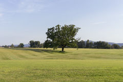 One tree on a grass field. One tree isolated on a grass field Royalty Free Stock Photos