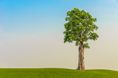 One tree on grass field in morning sky. One big tree stand alone on grass field in morning blue sky Royalty Free Stock Photography