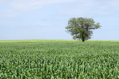 One tree in green wheat field Stock Images