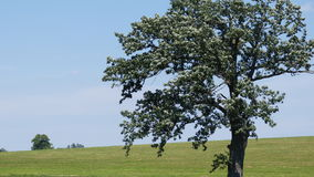 One Tree Hill. This tree has a distant cousin behind a green hill Royalty Free Stock Photos