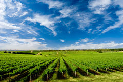 One Tree Hill Vineyard Stock Photography