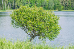 One tree at lake. Stock Photos