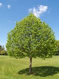 One tree with leaves by a green lawn Royalty Free Stock Photography