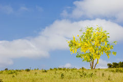 One tree in meadow, Cassia Fistula in blue sky. Royalty Free Stock Images