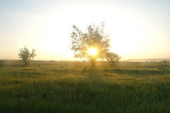 One tree on a meadow at dawn.  Stock Photos