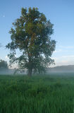 One tree on a meadow at dawn.  Stock Photo