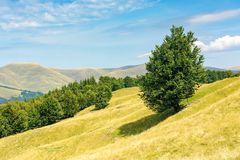One tree on the meadow in high mountain landscape. Beech forest around the hill. ridge in the distance. sunny afternoon weather in summer. location in the stock image