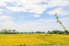 The one tree on rice field Stock Photos