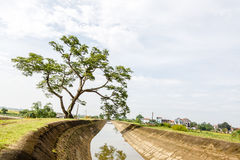The one tree on rice field Stock Images