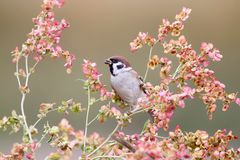 Free One Tree Sparrow On The Flowers Royalty Free Stock Images - 102000519