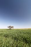Tree standing alone in a field Royalty Free Stock Photo