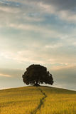 One tree in Tuscany. Large tree on a hill top in Tuscany near Pienza Royalty Free Stock Images