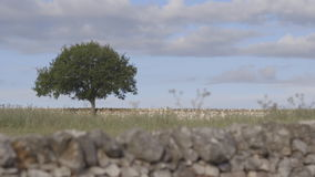 One tree in a wheat field. Shooting on the move of a tree in the Apulia countryside stock footage