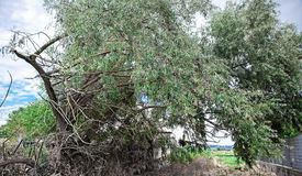 One tree willow. One tree of willow in outdoor royalty free stock photo