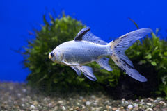 One tropical fish in a blue tank Royalty Free Stock Photography