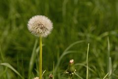 One tuft of white dandelion in green grass royalty free stock photo