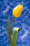One tulip. On blue background Stock Image