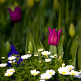One Tulip Amung A Daisy Hill royalty free stock photo