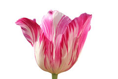 One tulip blossom pink and white mottled, isolated on white Stock Photography