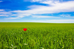 One Tulip. In the field Royalty Free Stock Image