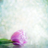 One tulip flower in drops on a gray background Royalty Free Stock Photo