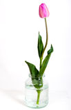 One tulip in a glass jar Royalty Free Stock Photo