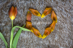 One tulip near heart made of petals. Are on the brown fur Royalty Free Stock Images