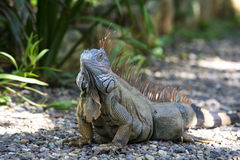 One turtle iguana Royalty Free Stock Images