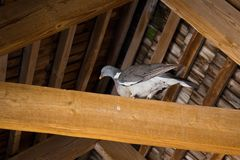 One turtledove. On a wooden beam under the roof Stock Photo