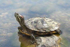 One turtles sitting in the sun Royalty Free Stock Photo