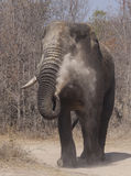 One tusk dust elephant Stock Images