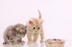 One of two adorable furry kitten observing cat food from the bow Stock Photos