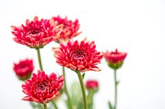 One type of red orange chrysanthemum flowers on white and gray background stock images
