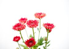 One type of red orange chrysanthemum flowers on white and gray background stock photo
