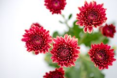 One type of red orange chrysanthemum flowers on white and gray background stock photography