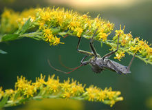 One Ugly Bug. An adult Assassin Bug hunting for its prey Royalty Free Stock Photography
