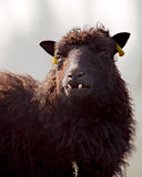 One ugly sheep Stock Image