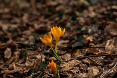 One of the very first flowers to herald in spring, this little c Stock Photography