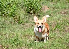 One very happy corgi Stock Photography