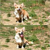One very happy corgi Royalty Free Stock Photo