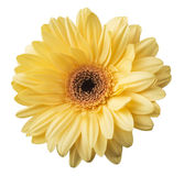 One Vibrant bright yellow gerbera daisy flower blooming Stock Photography