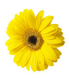 One Vibrant bright yellow gerbera daisy flower blooming Royalty Free Stock Photos