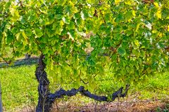 Vineyard at sunny day. One vine plant in the vineyard Kutjevo Croatia stock images