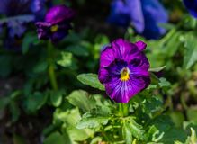 One viola pansies lilac Stock Photos