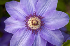 One violet flower Stock Images