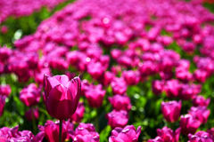 One violet tulip is higher among lower ones Royalty Free Stock Photography