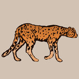 One walking a dangerous cheetah Royalty Free Stock Image