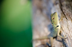 One warm morning sun Thailand lizard on a branch happily. The b stock image