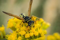 One wasp on yellow_dsc6263 royalty free stock image