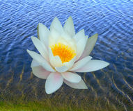 One water lily. In the water stock photography
